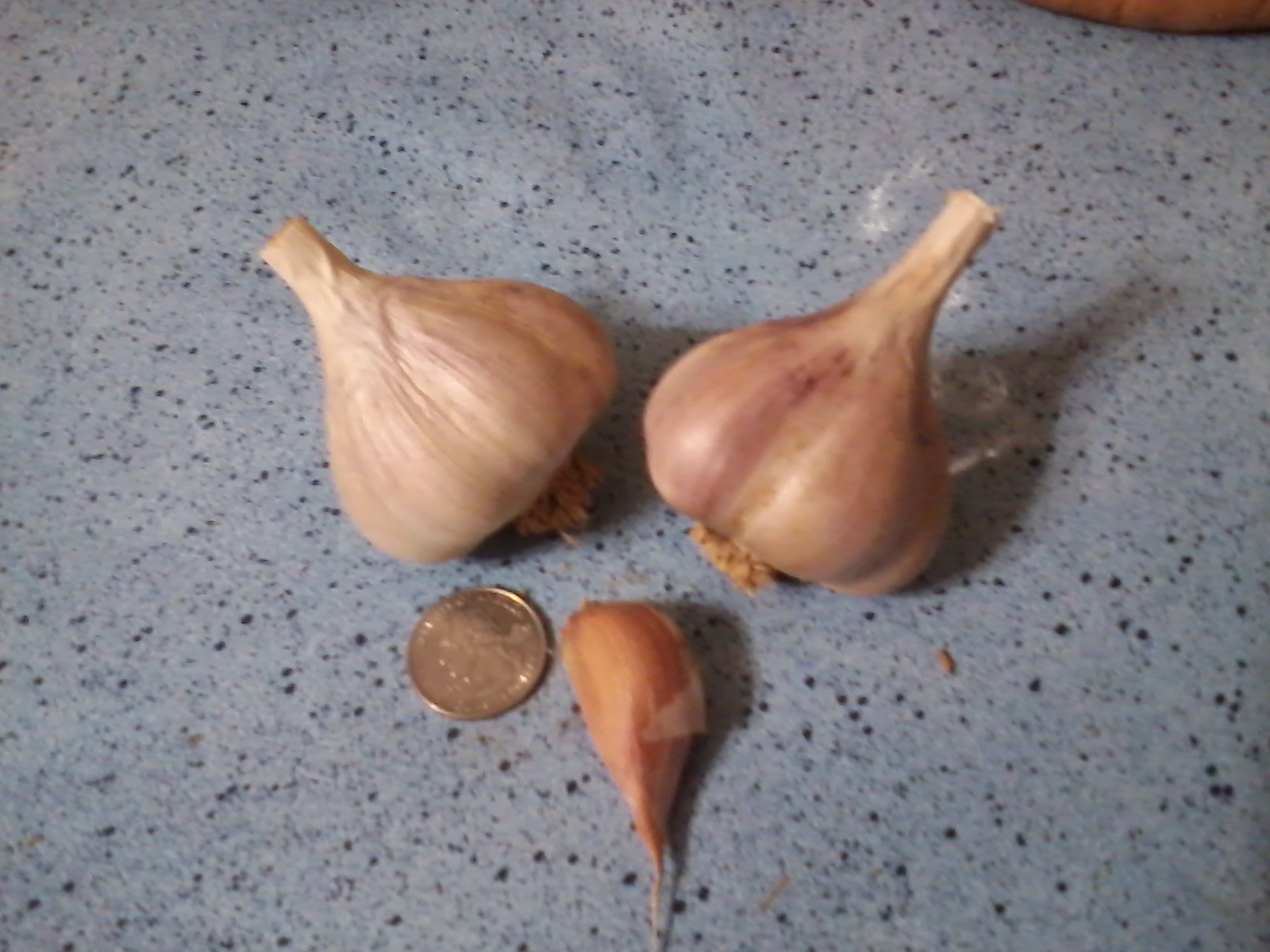 DUGANSKI GARLIC - seed bulbs